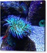 Giant Green Sea Anemone Acrylic Print