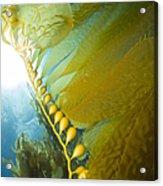 Giant Kelp, Catalina Island, California Acrylic Print