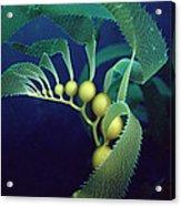 Giant Kelp Detail Acrylic Print