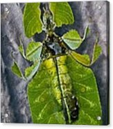 Giant Leaf Insect Acrylic Print