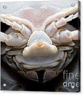 Giant Marine Isopod Acrylic Print