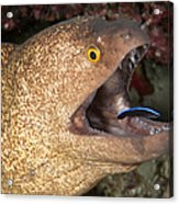 Giant Moray Eel And Cleaner Wrasse Acrylic Print