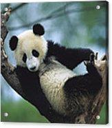 Giant Panda Cub Resting In A Tree Acrylic Print