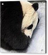 Giant Panda Portrait Acrylic Print