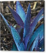 Giant Purple Wandering Jew 2 Acrylic Print