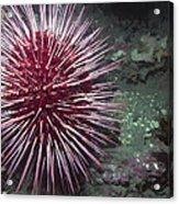 Giant Red Sea Urchin Acrylic Print