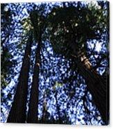 Giant Redwoods, Muir Woods, California Acrylic Print