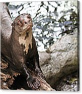 Giant River Otter Acrylic Print