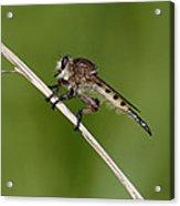 Giant Robber Fly - Promachus Hinei Acrylic Print