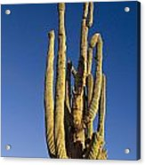 Giant Saguaro Cactus Portrait With Blue Sky Acrylic Print