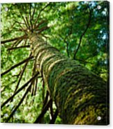Giant Spruce Tree Canopy Acrylic Print by Christopher Kimmel