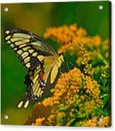 Giant Swallowtail On Goldenrod Acrylic Print