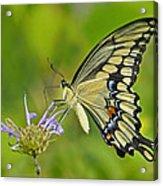 Giant Swallowtail Acrylic Print