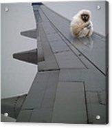 Gibbon On Wing Acrylic Print