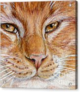 Ginger Cat  Acrylic Print
