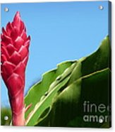 Ginger Flower Acrylic Print