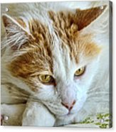 Ginger Acrylic Print by Imagevixen Photography