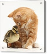 Ginger Kitten And Mallard Duckling Acrylic Print by Mark Taylor