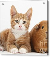 Ginger Kitten With Red Guinea Pig Acrylic Print