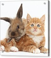 Ginger Kitten Young Lionhead-lop Rabbit Acrylic Print