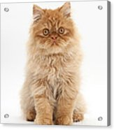 Ginger Persian Kitten Acrylic Print