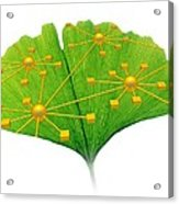 Ginkgo And Network Diagram Acrylic Print