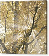 Ginkgo Tree With Sunlight Streaming Acrylic Print