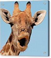 Giraffe Calling Acrylic Print