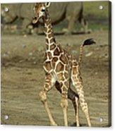 Giraffe Giraffa Camelopardalis Juvenile Acrylic Print