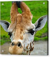 Giraffe In The Park Acrylic Print