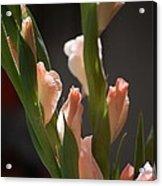 Gladiolus II Acrylic Print