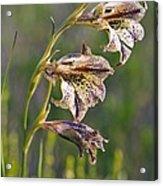 Gladiolus Maculatus Flowers Acrylic Print