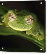 Glass Frog Centrolene Tayrona, Sierra Acrylic Print