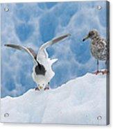 Glaucous-winged Gull Larus Glaucescens Acrylic Print