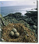 Glaucous-winged Gull Nest With Three Acrylic Print by Joel Sartore