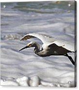 Gliding Snowy Egret Acrylic Print