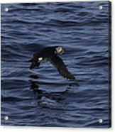 Gliding Puffin Acrylic Print