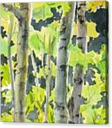 Glittering Poplars Acrylic Print