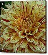Glorious Gloriosa  Acrylic Print