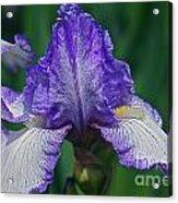 Glorious Iris Acrylic Print