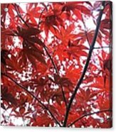 Glorious Red Acrylic Print