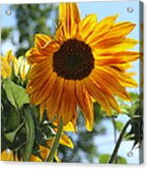 Glory Glory Sunflower Acrylic Print