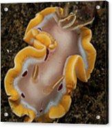 Glossodoris Cruenta Nudibranch, North Acrylic Print