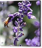 Glowing Bee In Purple Flowers Acrylic Print
