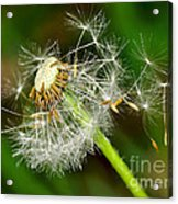 Glowing Dandelion Spores Acrylic Print
