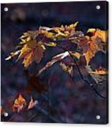 Glowing Maple Leaves Acrylic Print