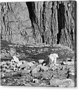 Goat Herd On Mount Evans Acrylic Print