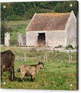 Goats Acrylic Print