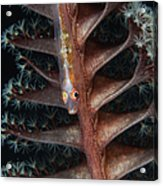Goby On A Sea Pen, Indonesia Acrylic Print