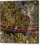 Goby On Coral, Australia Acrylic Print